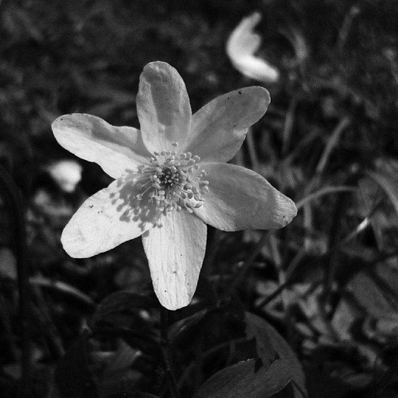 Flower Ic_flowers Nature_obsession_flowers Nature_obsession_macro nature_uc nature_perfection mobilnytydzien bnw_zone bnwbutnot bnw_captures ig_noir jj_justnature jj_blackwhite