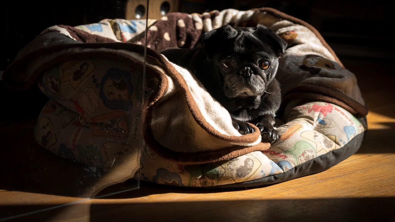 Hiding Dog Pets Domestic Animals One Animal Bulldog Animal Themes Indoors  Mammal No People Close-up Day Pug Life  Black Pug Dogs Of EyeEm Dog Love Pet Photography  Pets Corner Dogs Pug Bed Tired