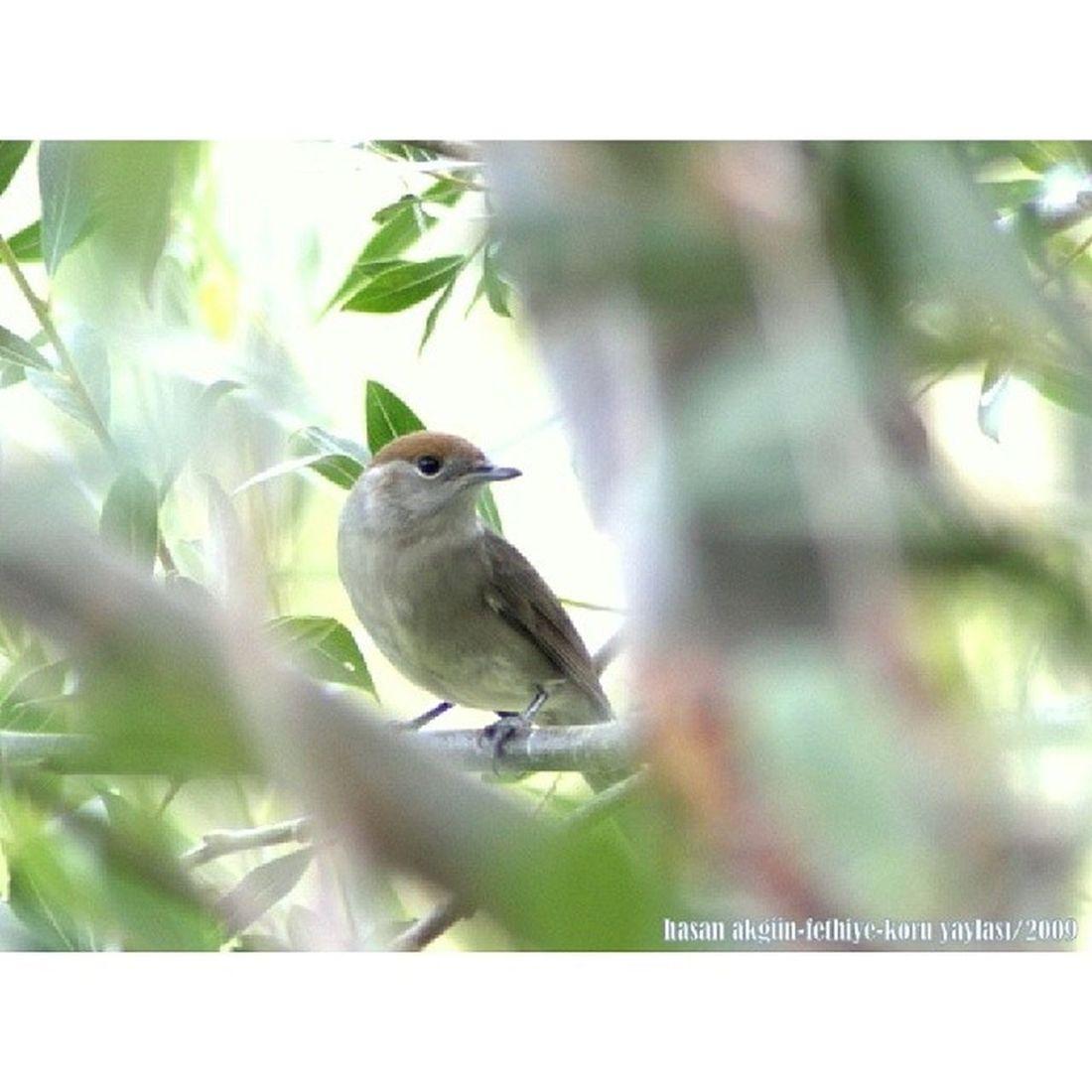 (Arşivimden) Karabaş Ötleğen -Blackcap FETHİYE KORU YAYLASI Blackcap Karaba şlıõtleğen Bird Natura cute magic beautiful wild_life life canon canoneos450D tamron75mm300mm untreated işlemsiz