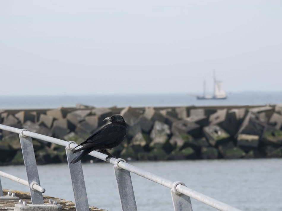Crow says farewell Bird Crow Depth Of Field Farewell Focus On Foreground Goodbye Leaving Sailing Away Sailing Boat Sailing Ship Sea And Sky Seaside Ship Ship In Distance Travel Telling Stories Differently