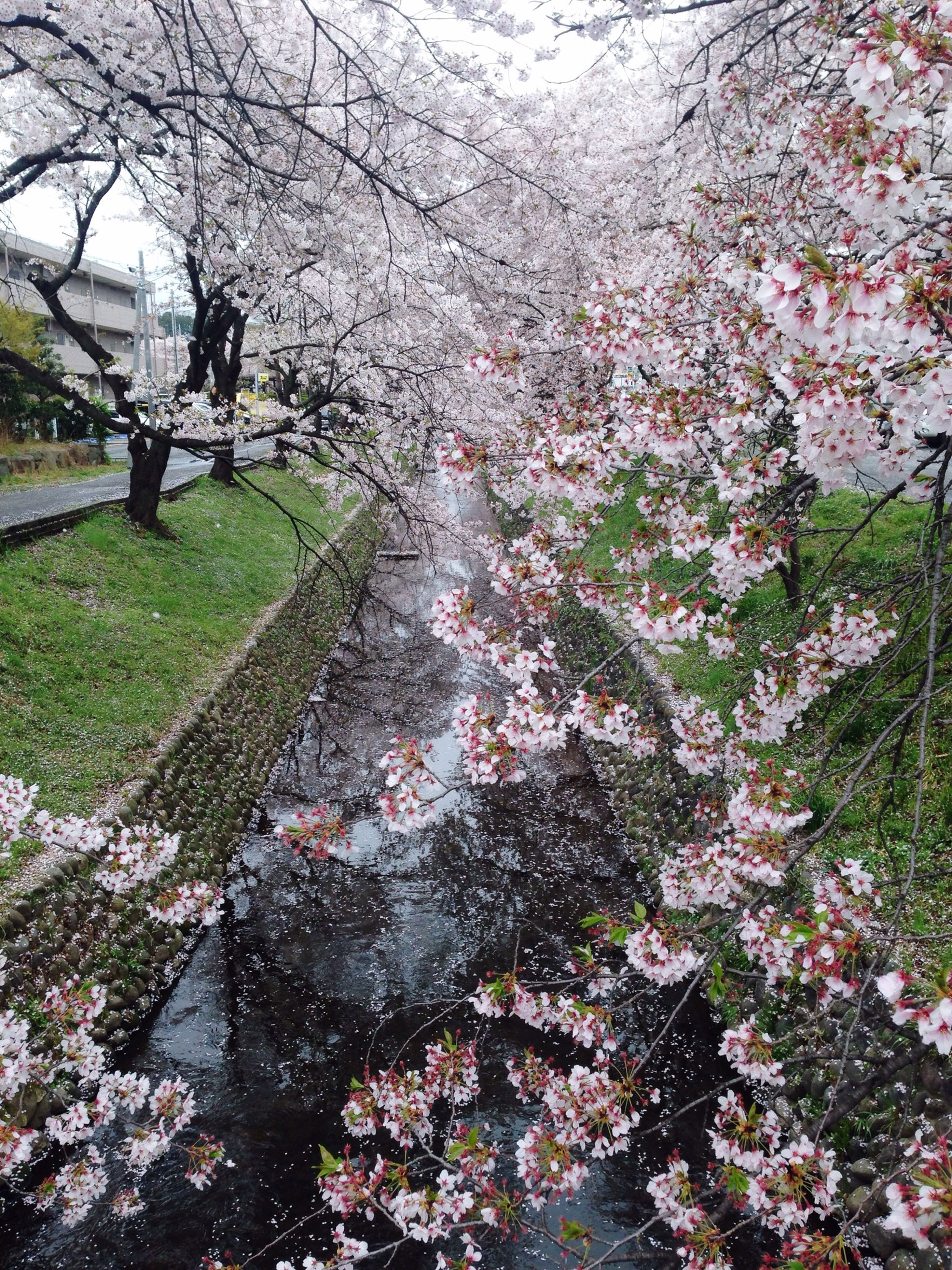 tree, flower, growth, branch, nature, building exterior, freshness, park - man made space, built structure, architecture, cherry blossom, beauty in nature, blossom, day, fragility, outdoors, plant, cherry tree, footpath, springtime