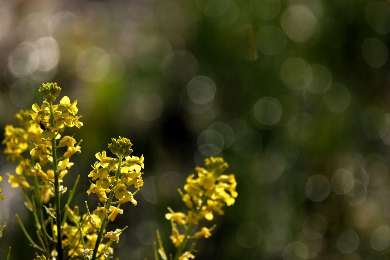 今シーズンラスト キラキラ 菜の花 Field Mustard Flower Flowerporn Yellow Flower Plant Nature EyeEm Nature Lover Nature_collection Bokeh Bokeh Photography From My Point Of View Shiny Shine Relaxing Taking Photos