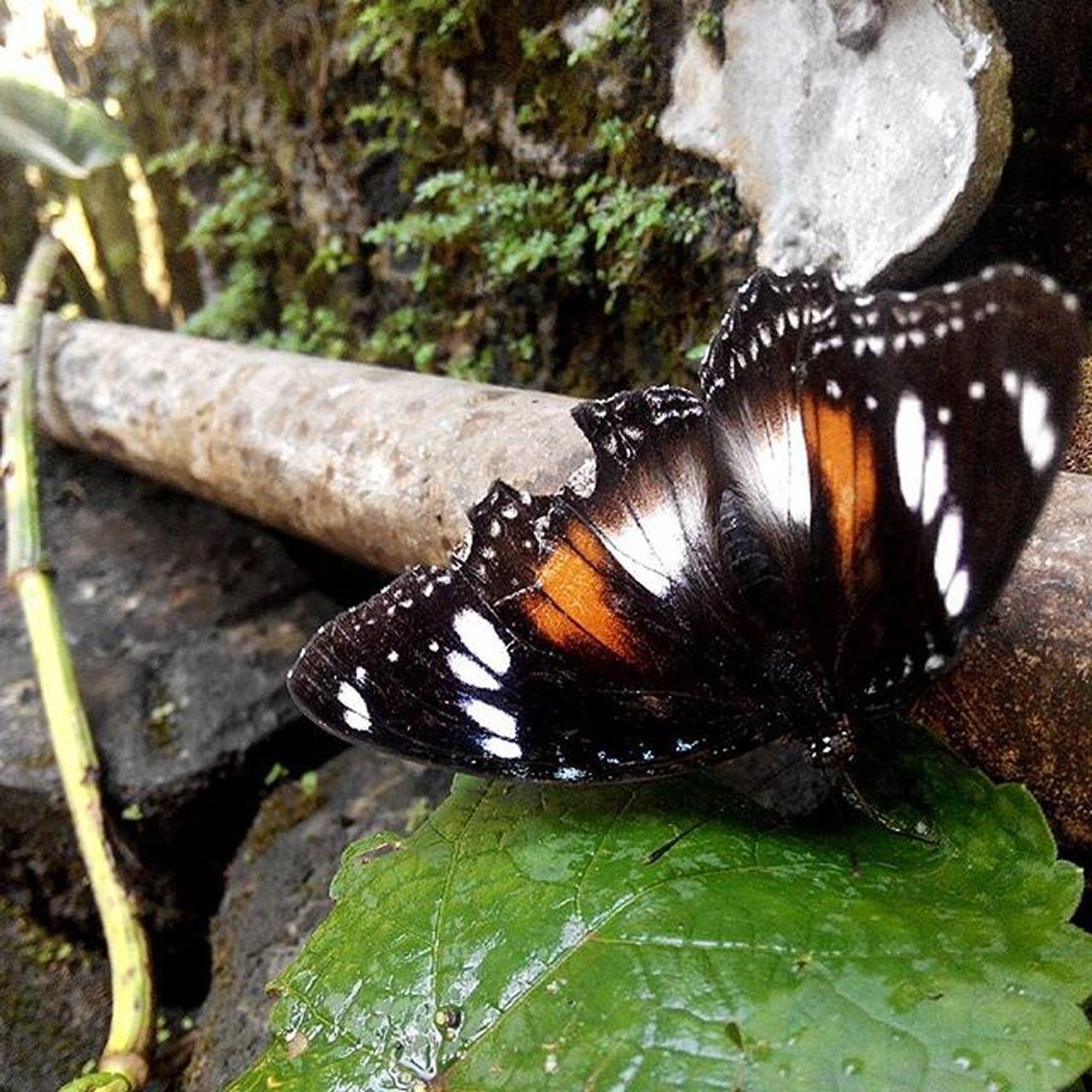 Morning Buterfly Nature Beauty Lenovotography Photooftheday Photostory Lzybstrd Kupukupu Keindahanalam