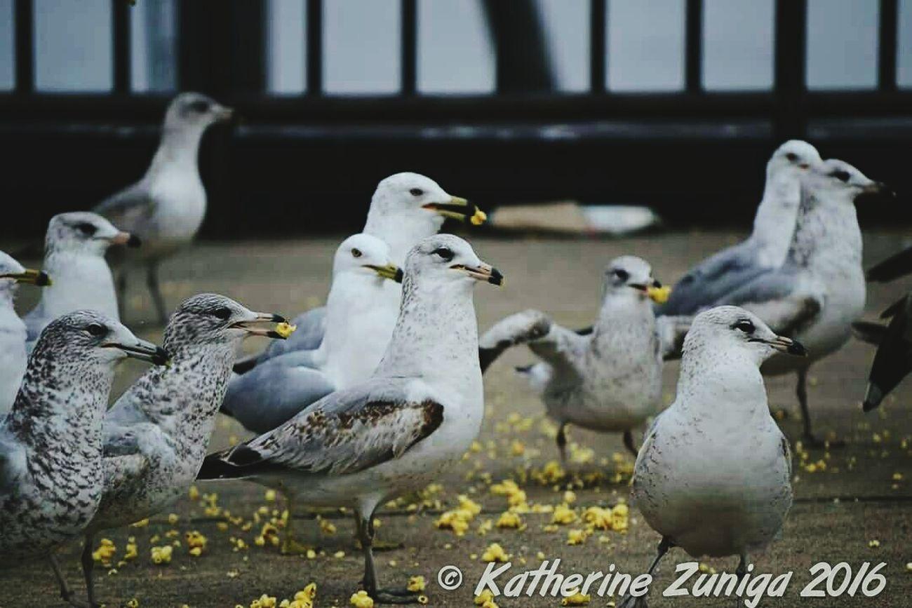 Showcase March Birds Eatingpopcorn Avianworld Nikonphotography NikonD3100 Seagulls