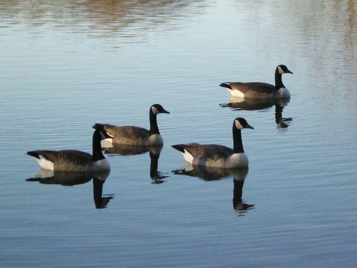 Geese At The Lake Lakebeauty Naturelover❤ Beautyeverywhere