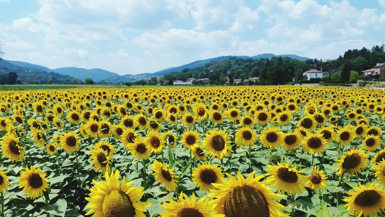 flower, nature, beauty in nature, field, mountain, day, sky, cloud - sky, growth, outdoors, plant, landscape, mountain range, yellow, fragility, sunflower, freshness, no people, scenics, agriculture, animal themes, rural scene, flower head, mammal