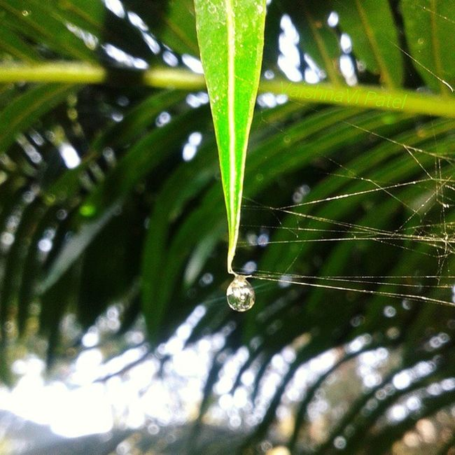 Water Droplets onLeaves Nature_and_sunsets nature camera_incentives photographyshoutout3 InstaMumbai collegecampus collegedays selfclicked fun spiderwebs web 1000thingstodoinmumbai bns_water bns_macro macroaddictsanonymous bns_droplets