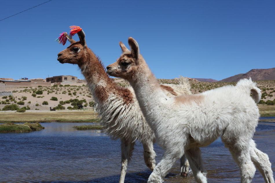 Beautiful stock photos of llama, Animal Themes, Blue, Clear Sky, Copy Space