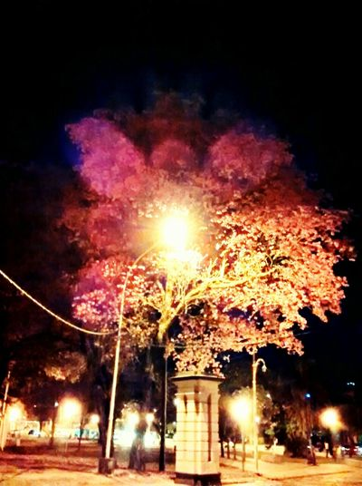 Corrientes Argentina CorrientesArgentina CorrientesCapital Lapacho Pink Trumpet Tree CityAtNight