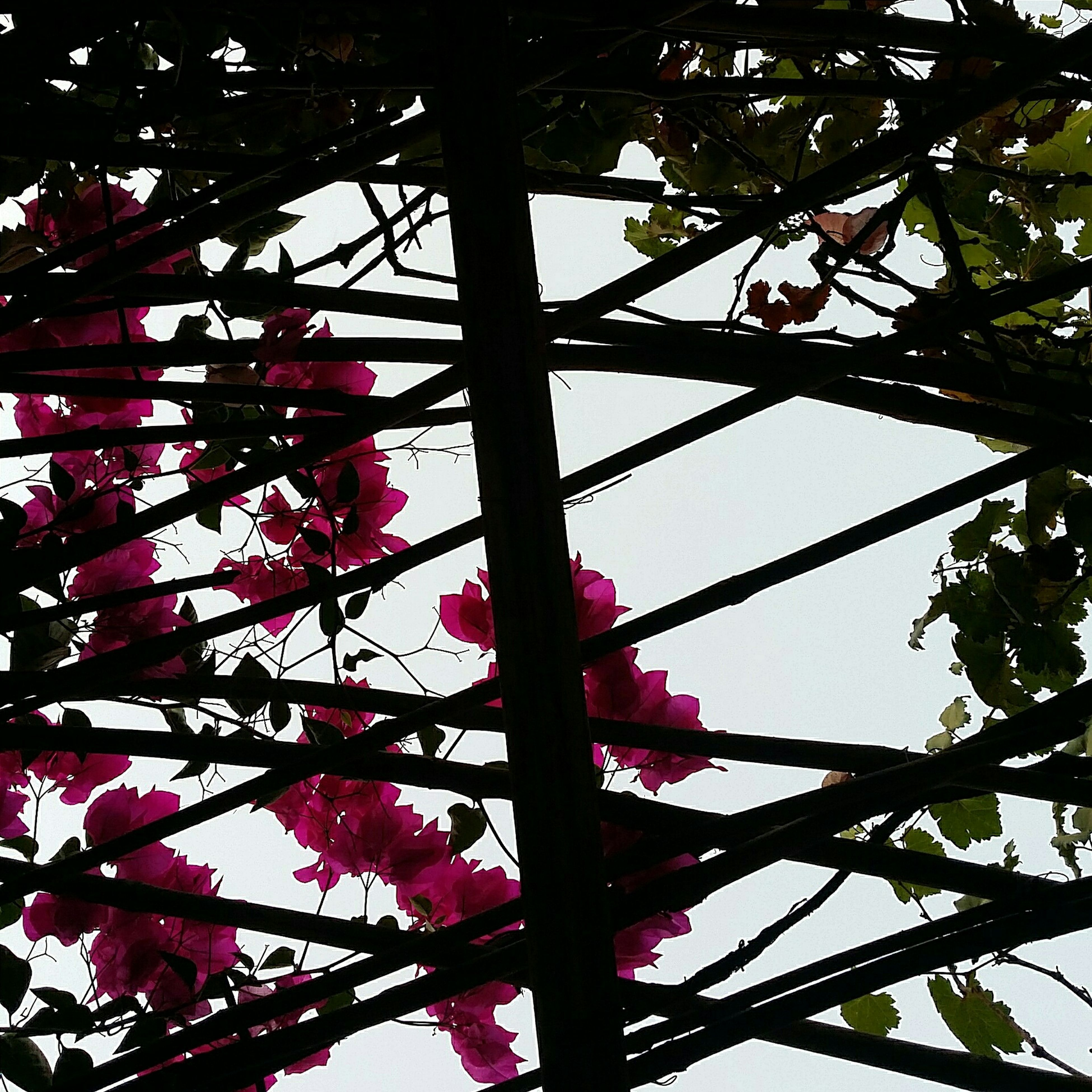 low angle view, growth, tree, branch, beauty in nature, nature, flower, freshness, leaf, red, fragility, sky, outdoors, day, backgrounds, pink color, close-up, blossom, no people, clear sky