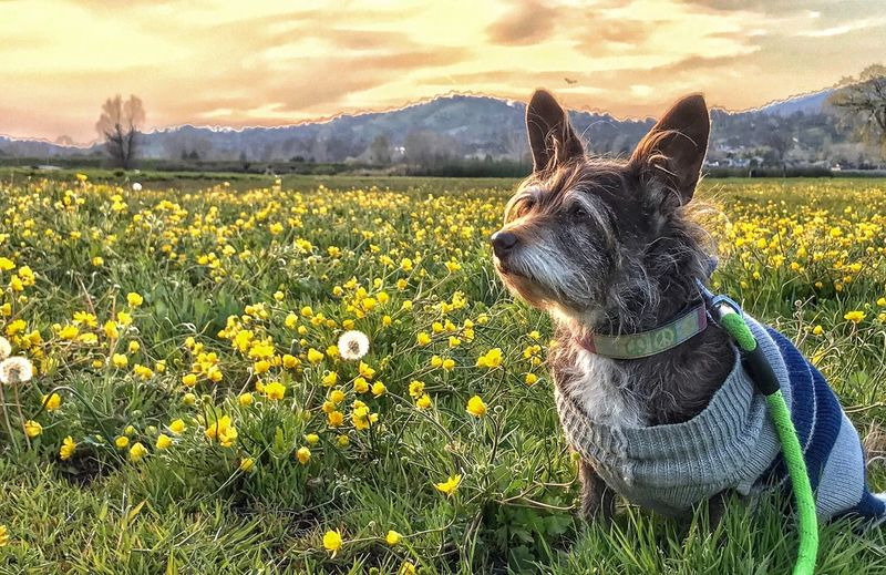 Terrier in Wildflowers Dog Pets Flower One Animal Domestic Animals Field Animal Themes Nature Growth Beauty In Nature Outdoors No People Day Yellow Sky Grass Mammal Close-up Mountain TehachapiCalifornia Flower Head Beauty In Nature Grass Nature Blooming