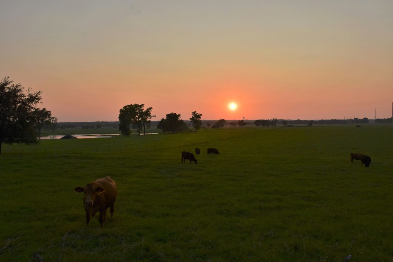 Sunset Animal Themes Domestic Animals Sun Landscape Grass Orange Color Tranquil Scene Grazing Green Color Pasture Tranquility Beauty In Nature Nature Texas Texas Skies Texas Sunset Texas Landscape Temple Texas Sky Timbopics