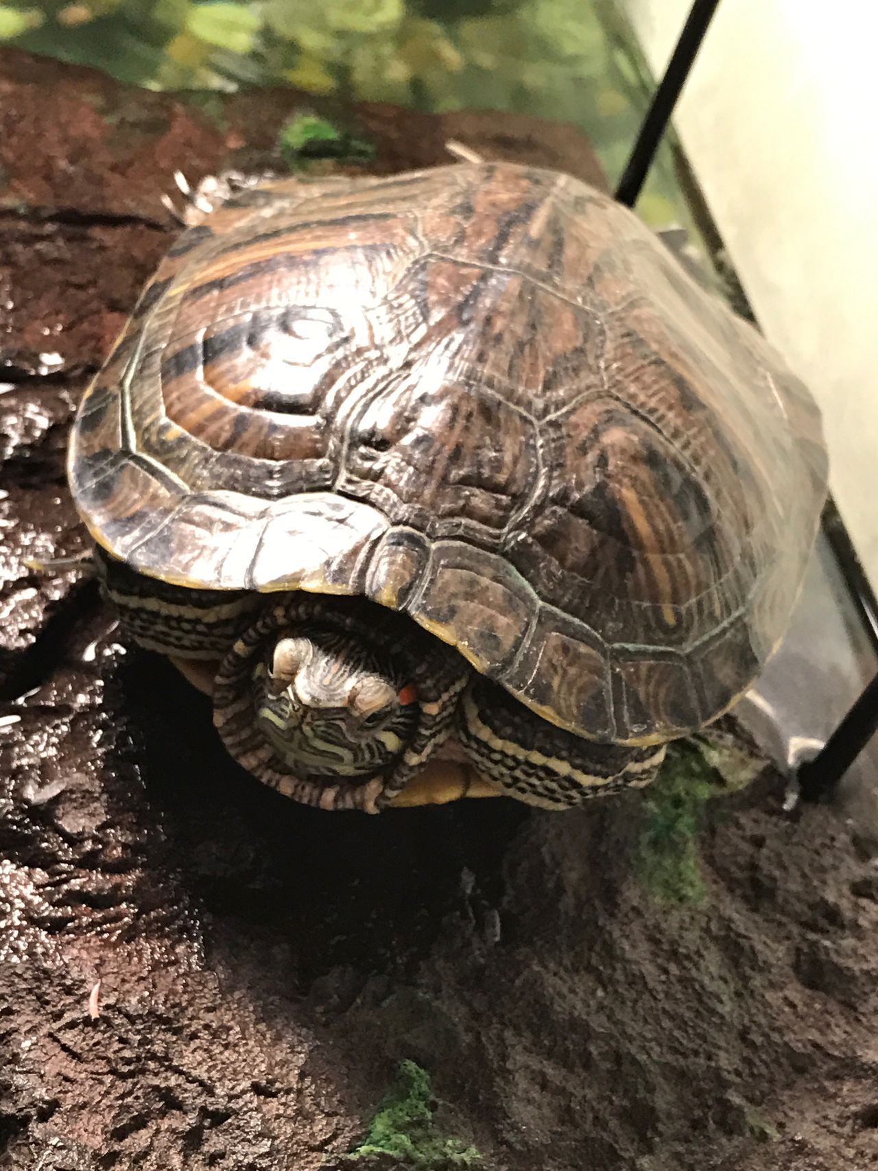 Linda The Turtle 🐢 Tortoise Shell Tortoise Animal Themes Reptile Animals In The Wild One Animal Animal Shell Wildlife Protection No People Close-up Outdoors Day Animal Wildlife Nature Shield