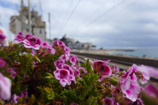 Approaching Town Blooming Botany Close-up Flower Focus On Foreground Fragility Growth Mediterranean  Petal Pink Color Seaside Town Selective Focus Train Line Train, Beach