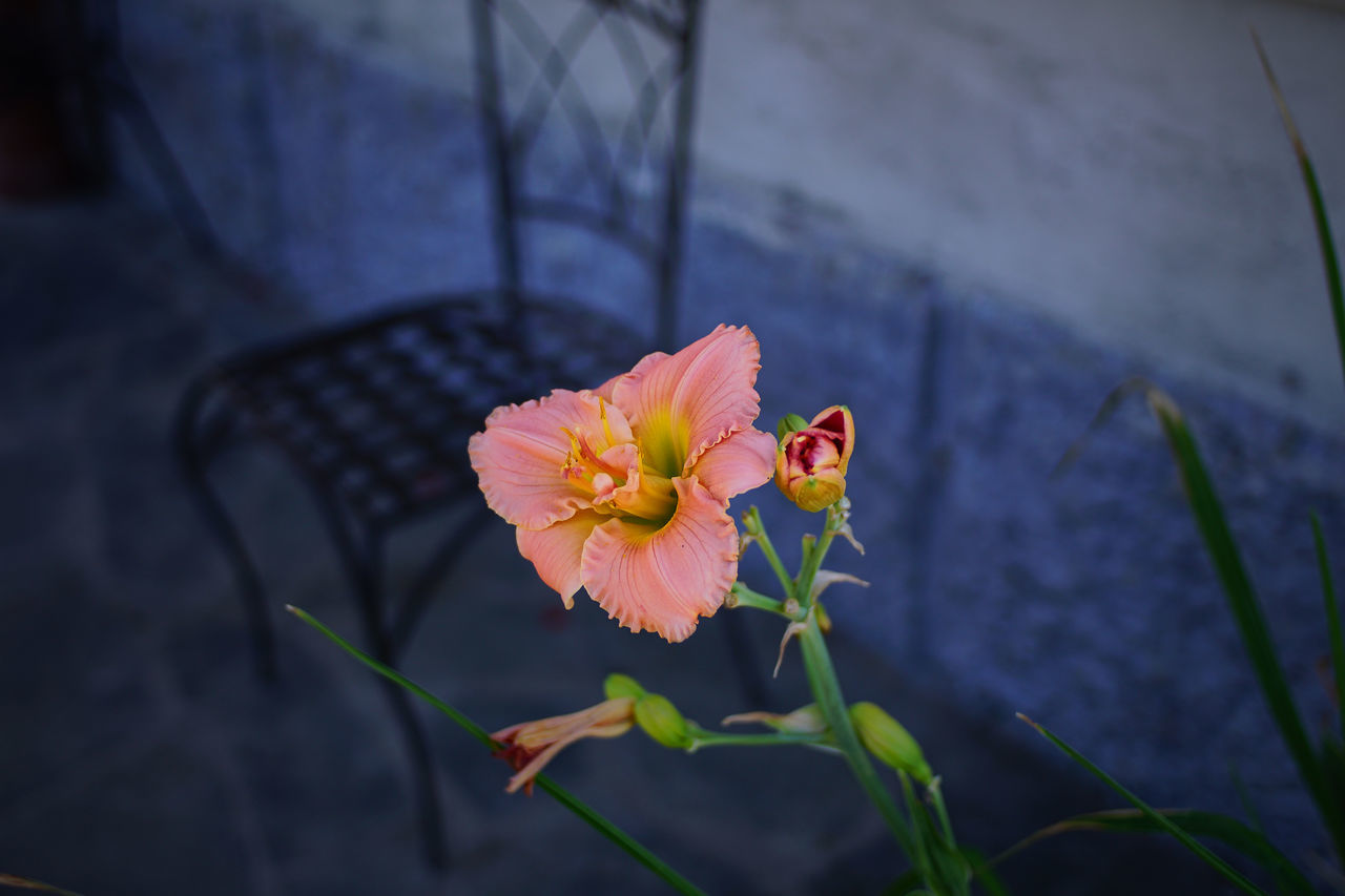 Beauty In Nature Blooming Bokeh Photography Bokehlicious Close-up Contrast Contrasting Colors Contrasts Day Flower Flower Head Fragility Freshness Garden Garden Photography Growth Lilies Lillies Nature No People Outdoors Petal Pink Color Plant Pollen