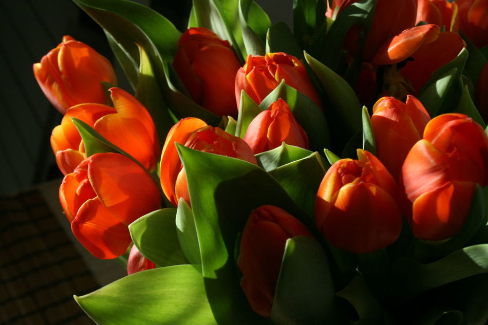 Beautiful stock photos of tulip, beauty in nature, blooming, close-up, flower