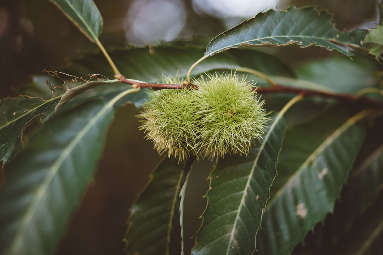 Autumn Beauty In Nature Close-up Day Freshness Fruit Green Color Growth Leaf Nature No People Outdoors Plant Tree