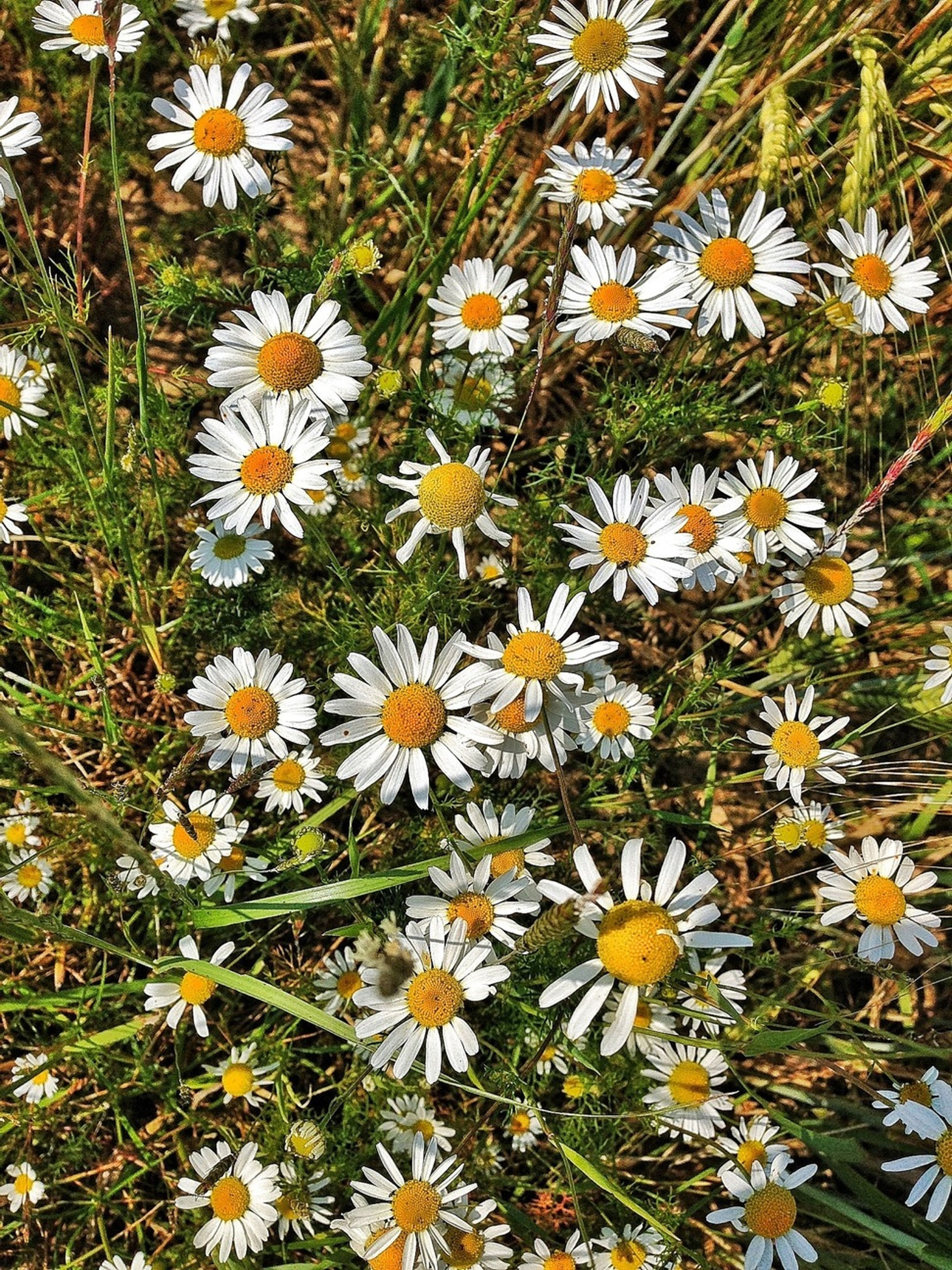 flower, freshness, petal, fragility, daisy, growth, white color, flower head, beauty in nature, high angle view, blooming, plant, nature, field, yellow, pollen, in bloom, day, outdoors, no people