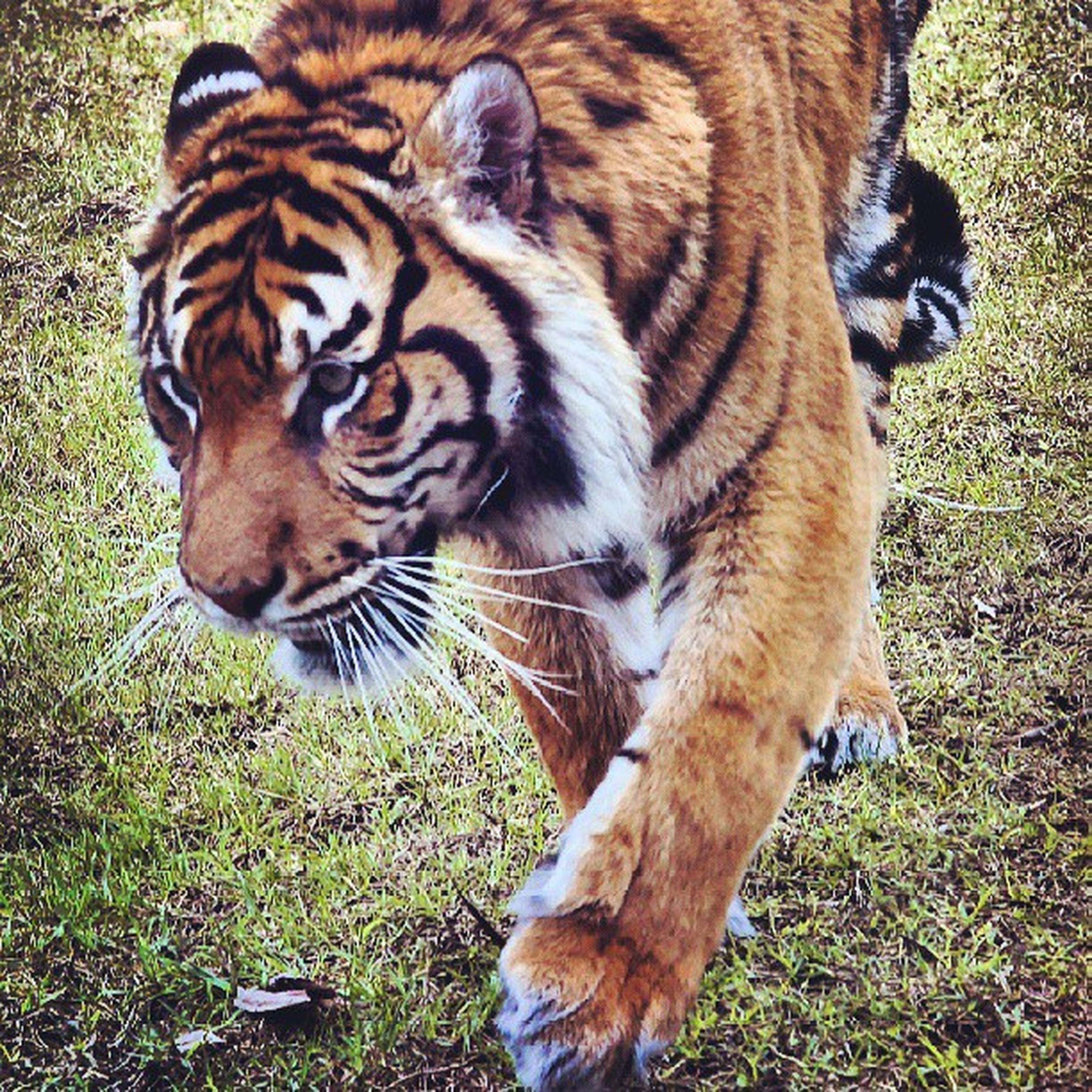 animal themes, one animal, animals in the wild, wildlife, mammal, animal markings, tiger, grass, field, striped, full length, two animals, nature, side view, natural pattern, outdoors, day, no people, standing, high angle view