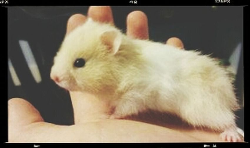 I need this little hamster in my life. Animal_collection Animallovers Beautiful Animals