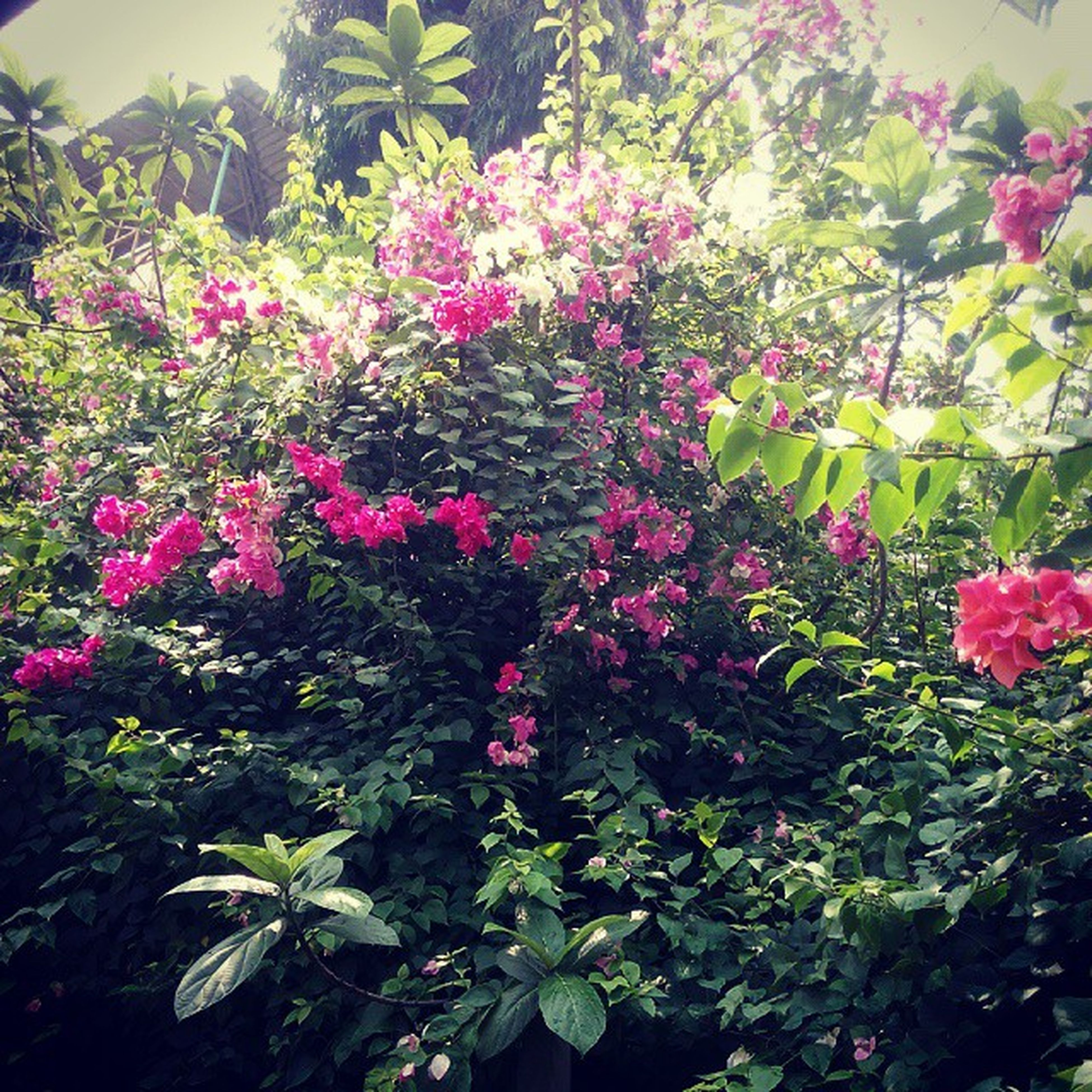flower, growth, freshness, beauty in nature, pink color, plant, fragility, leaf, nature, petal, blooming, in bloom, green color, park - man made space, blossom, tree, outdoors, day, pink, no people