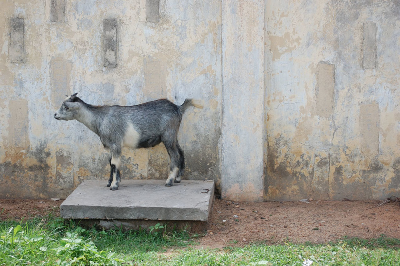 Animal Themes Animal Wildlife Animals In The Wild Day Domestic Animals Goat Mammal Nature No People One Animal Outdoors Pets