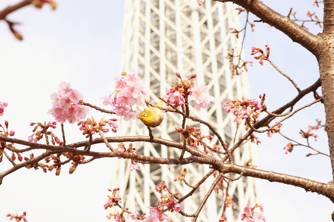 Tree Flowers Beauty In Nature Tokyoskytree Skytree Cherryblossoms Blossoms  Bird Tower Tokyo Japan Pinkflower