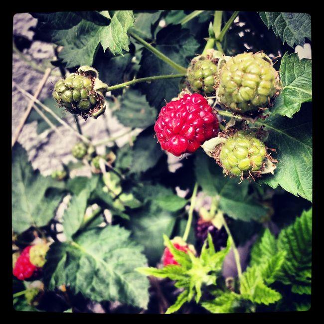 Raspberries Spring Is In The Air Bloom Nature
