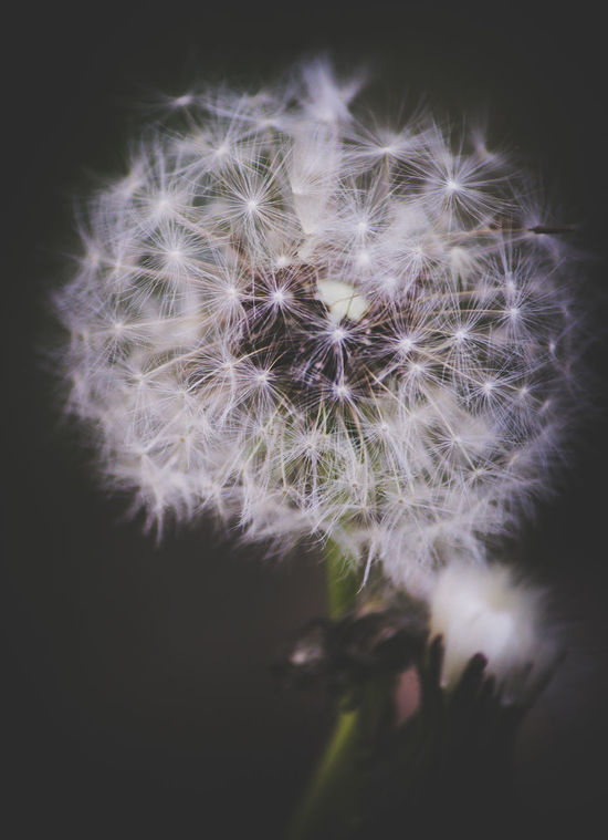 Beauty In Nature Black Background Botany Close-up Dandelion Dandelion Seed Day Flower Flower Head Fragility Freshness Growth Nature No People Outdoors Petal Plant Selective Focus Soft Focus Softness Springtime Uncultivated Wildflower