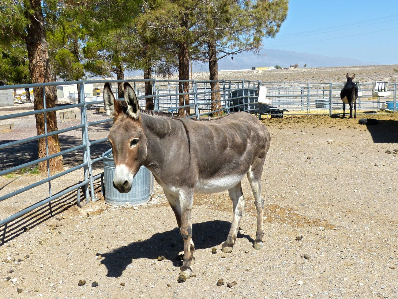 Donkey next to the hotel in Armagosa Valley / Death Valley ::::: Animal_collection Grey Donkey