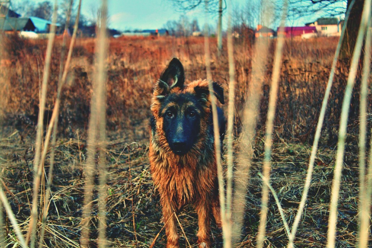 Dog Ovcharka Russia