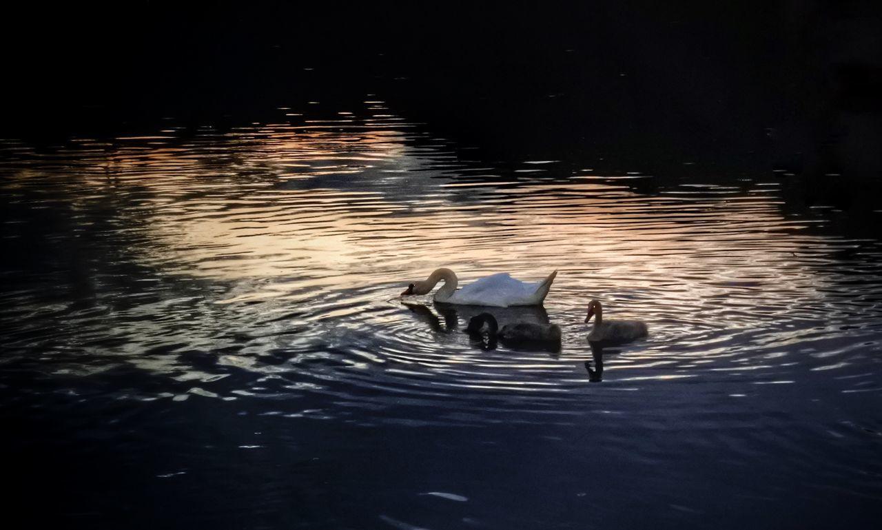 Swan Swan In The Mosel
