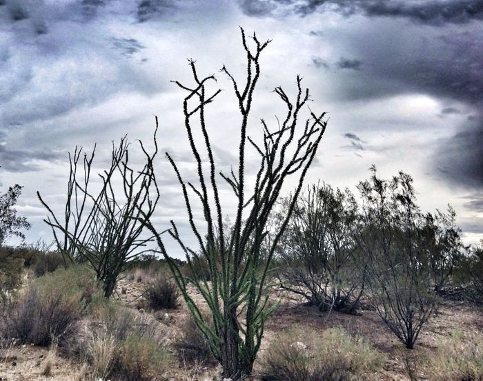 Tranquility Landscape Plant Tranquil Scene Non-urban Scene Remote Grass Sky Scenics Arid Climate Cloud - Sky Nature Desert Beauty In Nature Cloud Countryside Growth Solitude Day Outdoors Arizona Deserts Around The World Desert Ocotillo Dramatic Sky