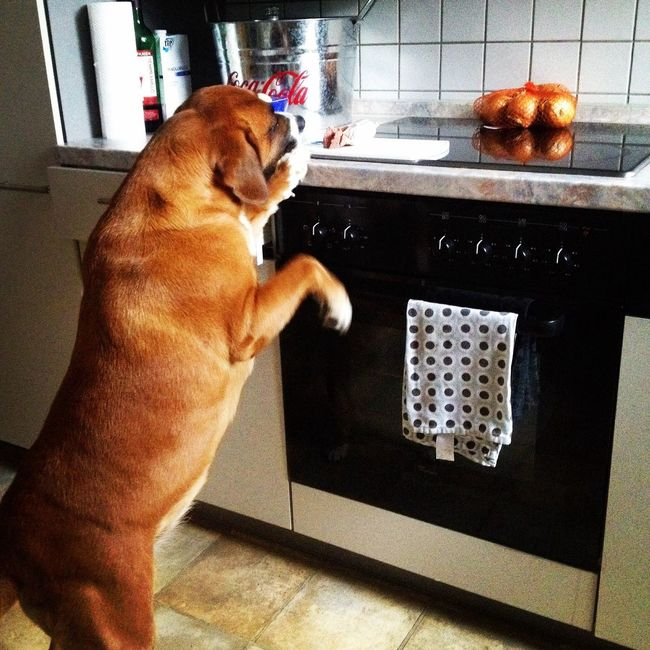 Leberwurst Gierig Dog Hunde Liebe ♡