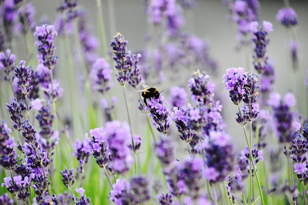 animal themes, flower, insect, one animal, purple, animals in the wild, nature, fragility, plant, growth, beauty in nature, animal wildlife, no people, bee, day, lavender, selective focus, petal, close-up, outdoors, freshness, pollination, blooming, buzzing, flower head