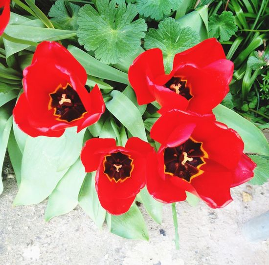 Tulips in bloom ❤️🌹
