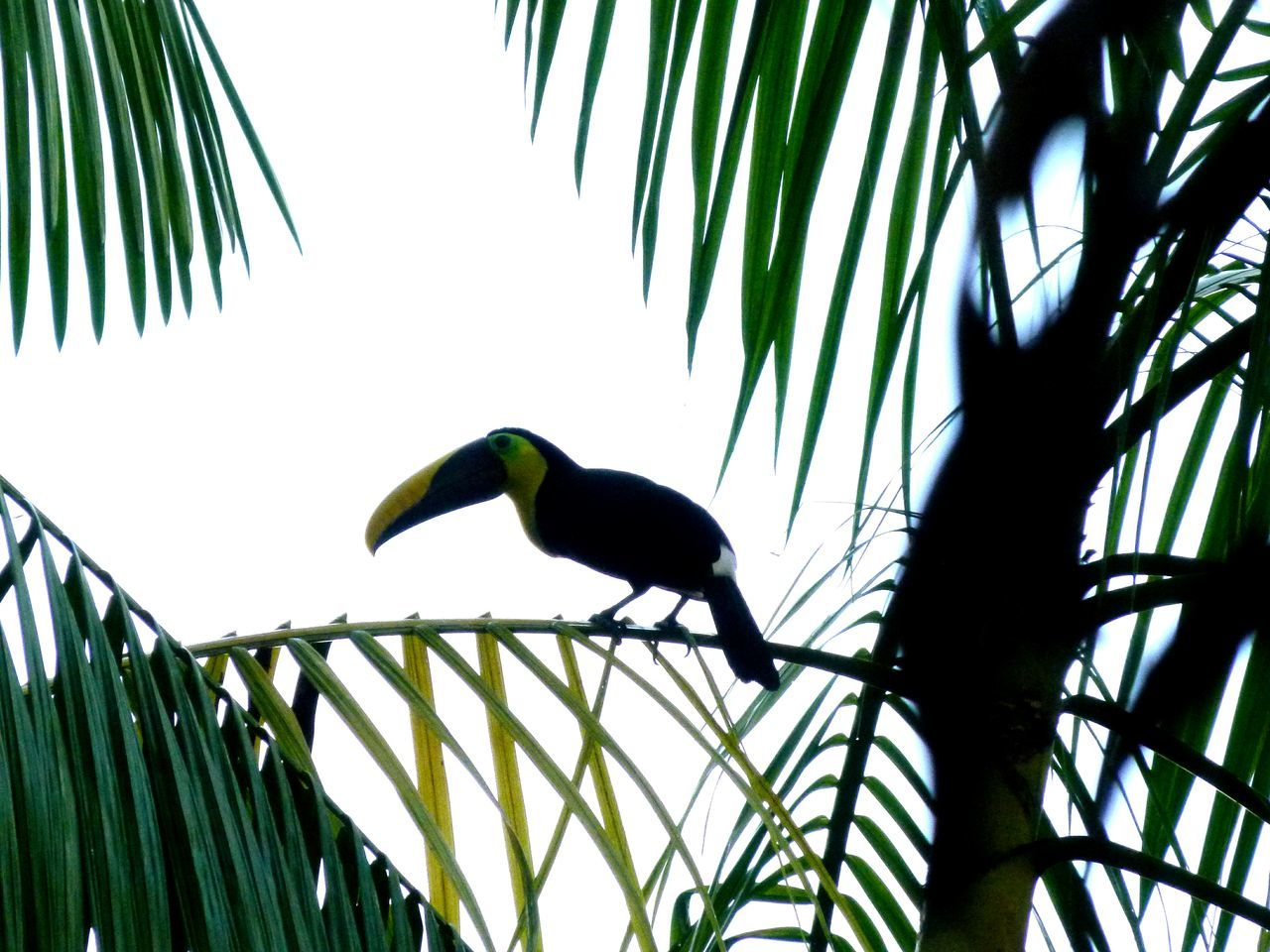 Bird Nature Tucan Costa Rica Outdoors Animals In The Wild