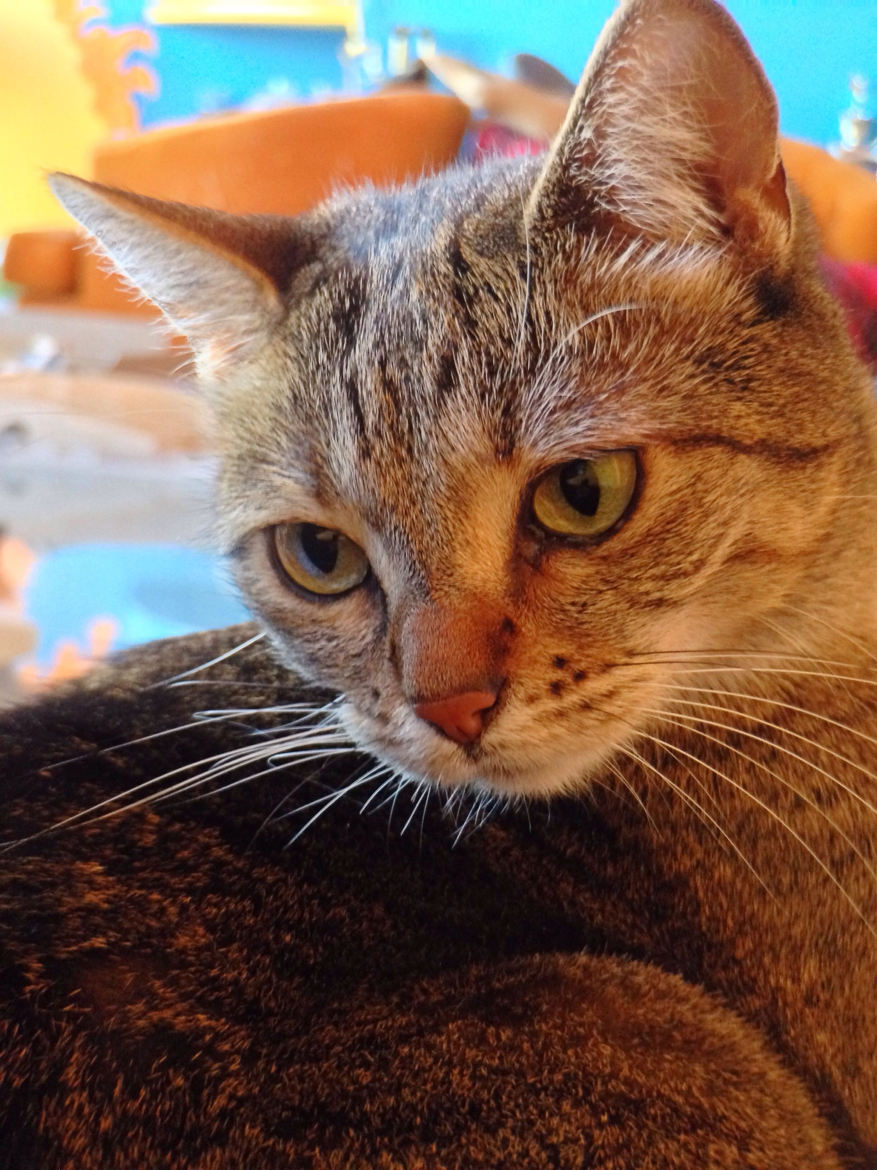 domestic cat, one animal, cat, pets, domestic animals, animal themes, feline, whisker, mammal, portrait, close-up, looking at camera, animal head, animal eye, focus on foreground, alertness, staring, front view, no people