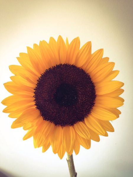 Sunflower Favourite Gift Little Things Yellow Flowers