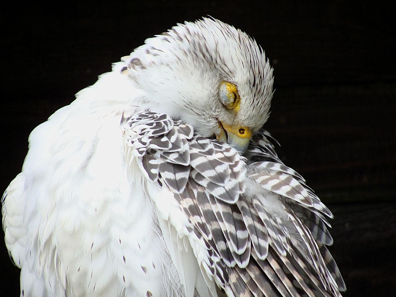 Animal Photography Animal Portrait Animal Themes Animal Wildlife Bird Bird Of Prey Birds Close-up No People One Animal