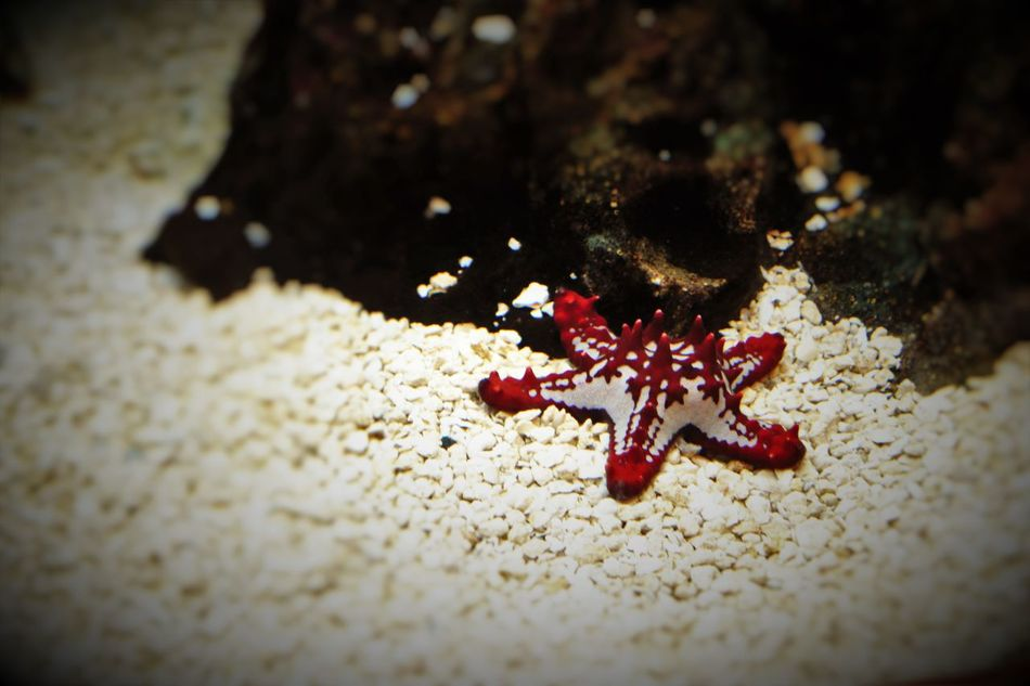 Beauty In Nature Fragility Multi Colored Nature Red Starfish Selective Focus Starfish  Vignette