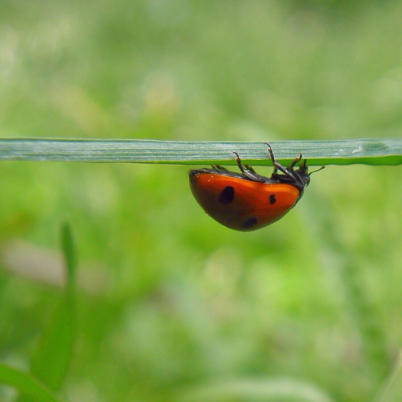 Insect Animal Themes One Animal Animals In The Wild Focus On Foreground Close-up Ladybug Nature Animal Wildlife No People Outdoors Day Tiny Beauty In Nature Red Ladybeetle Upside Down Ladybug Ladybird Leaf Grass Green Color Green Nature (null)Natural Simplicity Break The Mold