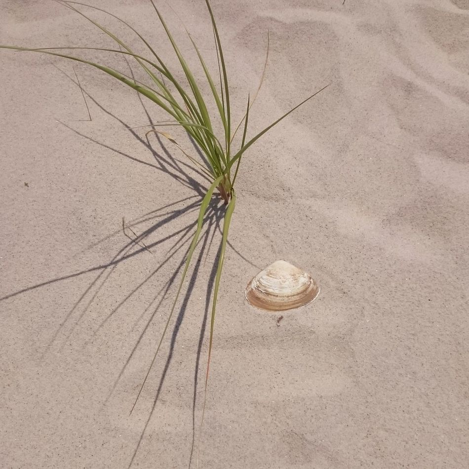 Plant Grass Nature Uncultivated Day No People Beauty In Nature Outdoors Tranquility Beach Summer Hamptons Nature Sand Seashell Seashore Seashell Beach Summer