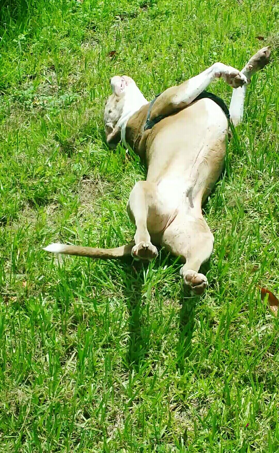 Summer Dog Escaping From The Heat Enjoying Life Happy To Be Out Side Running Around Rolling In The Grass To Keep Cool My American Stratford Terrier Buddy I Love My Dog Play Time After Days Of Rain The Week On Eyem open ediit