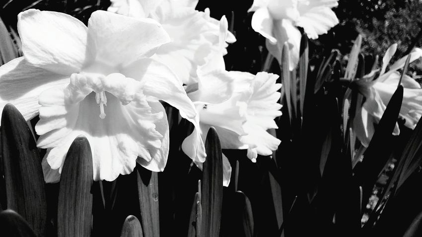 Flower Fragility Beauty In Nature Petal Nature Growth Close-up Flower Head Blooming Outdoors No People Plant Day Blackandwhite