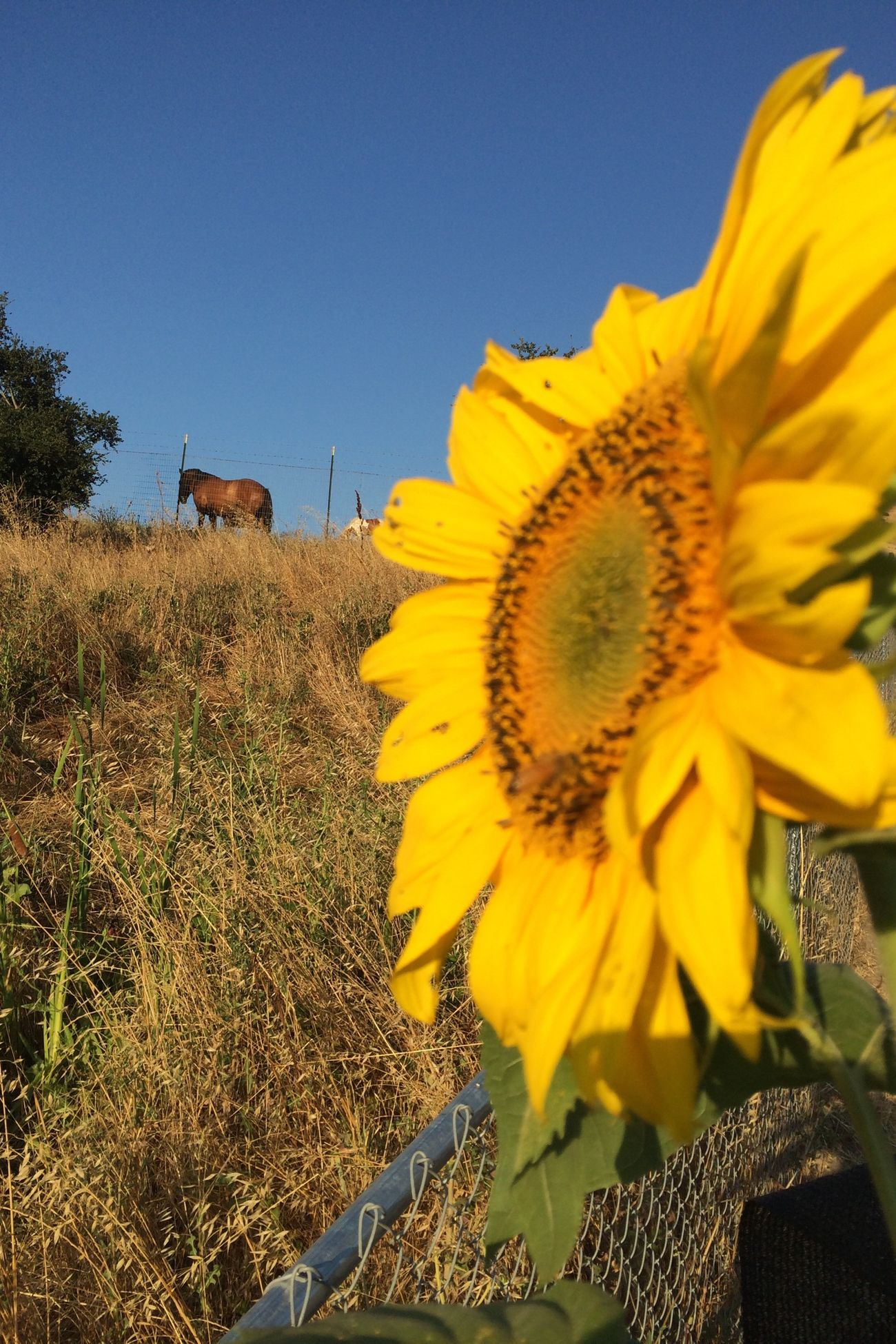 Sunflower , ranch, farm Nice Atmosphere Beautiful Surroundings View Relaxing