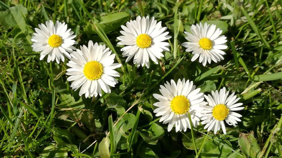 Daisy in the back yard Flower Yellow Freshness Fragility Nature Petal Beauty In Nature Flower Head Daisy Growth White Color Outdoors Day No People Plant Field Close-up Blooming Springtime