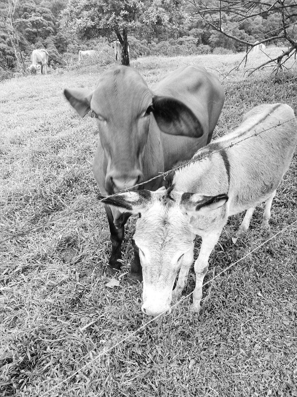 animal themes, domestic animals, mammal, cow, livestock, two animals, field, cattle, grass, no people, outdoors, nature, day, farm animal, full length