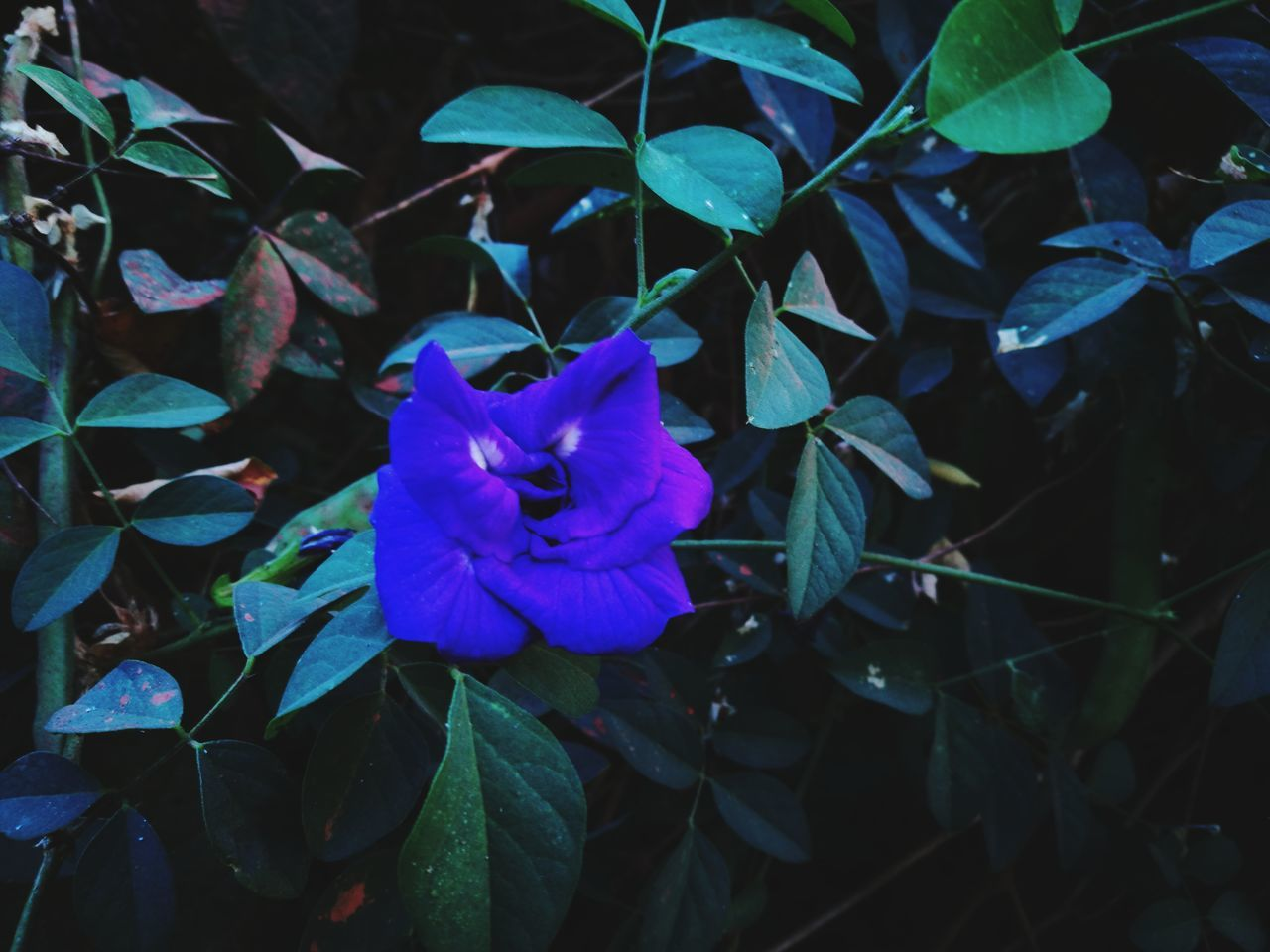 flower, petal, fragility, beauty in nature, leaf, plant, growth, nature, high angle view, flower head, day, no people, outdoors, blue, freshness, blooming, close-up, periwinkle