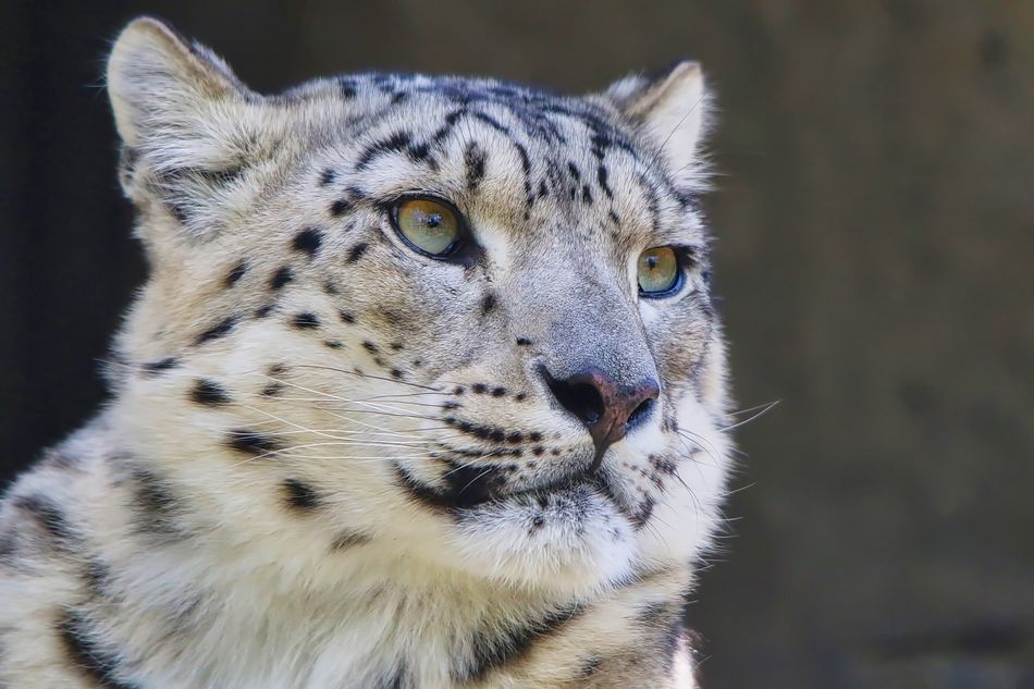 Snow Leopard Animal Head  Animal Themes Animal Wildlife Animals In The Wild Close-up Day Focus On Foreground Leopard Mammal No People One Animal Outdoors Portrait Tiger
